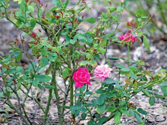 Smell the roses in Midtown Park Rose Garden