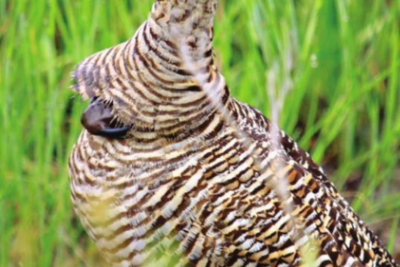 Texas' Attwater's Prairie-Chicken wild population reaches 28-year high